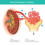 What Do Our Amazing Kidneys Do?